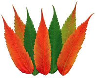 De kleuren van de het bladdaling van de okkernoot Stock Fotografie