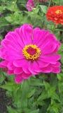 De Kleuren van de Lente Hete Roze Dahlia Royalty-vrije Stock Fotografie