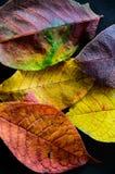 De kleuren van de herfst Kleurrijke bladeren van de bomen Royalty-vrije Stock Fotografie