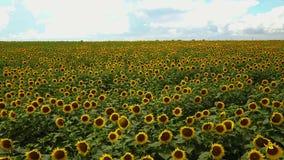 De kleuren van het zonnebloemgebied van de zomer stock footage