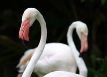 De kleurenroze van de flamingo Stock Afbeeldingen