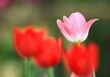 De kleurenroze van de tulp Royalty-vrije Stock Foto's
