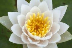 De kleurenwit van Lotus Royalty-vrije Stock Foto's