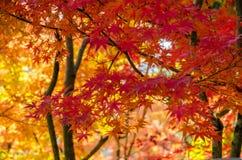 De kleurrijk herfst, rood, sinaasappel en bladgoud Stock Fotografie