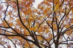 De kleurrijke achtergrond van het esdoornblad in de herfst Stock Foto's