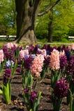 De kleurrijke achtergrond van het Hyacintbloembed in een de lente formele tuin stock fotografie