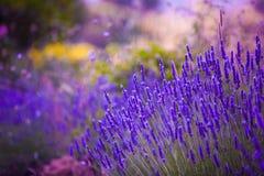 De kleurrijke achtergrond van Lavendar van tuinbloemen Stock Foto