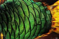 De kleurrijke achtergrond van pauwveren Stock Afbeeldingen