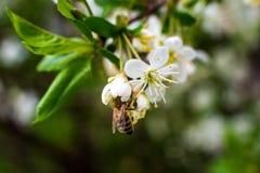 De kleurrijke bij verzamelt stuifmeel van kersenbloesems met zijn zuigorganen stock foto's