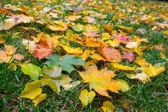De kleurrijke bladeren van de dalingsesdoorn op een achtergrond van groen gras Royalty-vrije Stock Fotografie