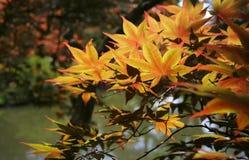 De kleurrijke Bladeren van de Esdoorn stock fotografie