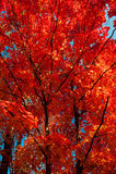 De kleurrijke bladeren van de herfst Stock Afbeelding