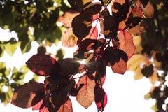 De kleurrijke bladeren van de pruimboom onder de zon Stock Foto