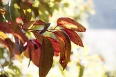 De kleurrijke bladeren van de pruimboom onder de zon stock afbeelding