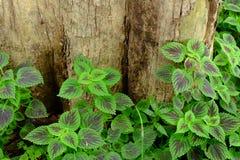 De kleurrijke bladeren van geschilderde netel - siernetel stock foto's