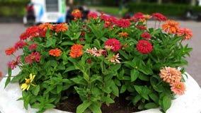 De kleurrijke bloei van dahliastruiken in de zon stock foto's