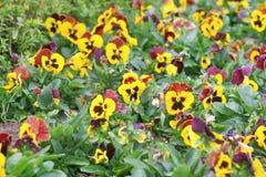 De kleurrijke bloemen die van de viooltjealtviool in tuin bloeien royalty-vrije stock fotografie