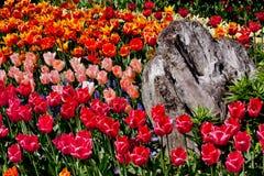 De kleurrijke Bloemen Houten Washington van Tulpen Royalty-vrije Stock Foto