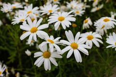 De kleurrijke bloemen in de tuin Royalty-vrije Stock Afbeelding