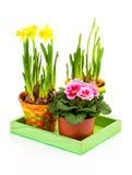 De kleurrijke Bloemen van de Lente in Potten Stock Afbeeldingen
