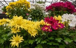 De kleurrijke bloemen van het de lentemadeliefje stock afbeeldingen