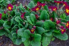 De kleurrijke bloemen van de lentesleutelbloemen rimula in de lentetuin Kastanjebruine Bloemensleutelbloem stock foto