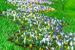 De kleurrijke bloesem van Krokusbloemen in Nederlandse de lentetuin Stock Foto's