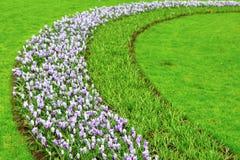 De kleurrijke bloesem van Krokusbloemen in Nederlandse de lentetuin Stock Afbeeldingen