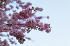 De kleurrijke bloesem van de sakurakers in een park in Riga, Oosteuropese hoofdstad van Letland - Roze en magenta kleuren stock fotografie