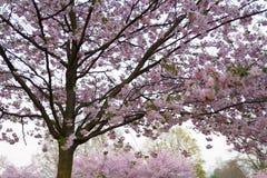 De kleurrijke bloesem van de sakurakers in een park in Riga, Oosteuropese hoofdstad van Letland - Roze en magenta kleuren royalty-vrije stock afbeeldingen