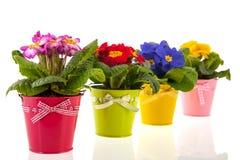 Kleurrijke Sleutelbloemen Stock Foto