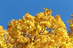 De kleurrijke esdoorn vertakt zich close-up, tegen een blauwe hemel stock fotografie