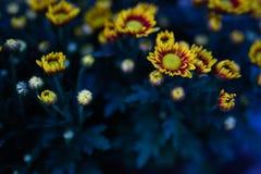 De kleurrijke gele bloemen snijden rozeachtige sinaasappel stock afbeelding