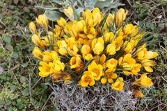 De kleurrijke gele en purpere die krokus bloeit in het zonlicht in noordelijk Duitsland wordt genomen stock foto
