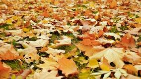De kleurrijke gevallen esdoorn verlaat het liggen op de grond met groen gras, de herfstseizoen Het schieten in motie met elektron royalty-vrije stock foto's