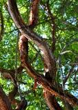 De kleurrijke Gumbo-takken van de Voorgeborchte der helboom die in Islamorada in de sleutels van Florida worden ineengestrengeld royalty-vrije stock foto's