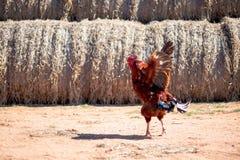 De kleurrijke haan danst op het zand in het landbouwbedrijf royalty-vrije stock afbeeldingen