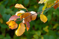 De kleurrijke herfst doorbladert op takje Stock Fotografie