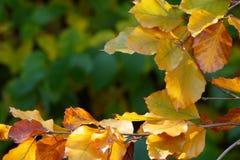 De kleurrijke herfst doorbladert op takje Stock Foto's