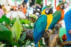 De kleurrijke hofpapegaai, Royalty-vrije Stock Fotografie