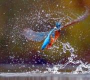 De kleurrijke Ijsvogel die na de jacht voor vissen opduiken royalty-vrije stock afbeeldingen