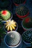 De kleurrijke installaties van de cactussencactus Stock Foto's