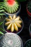 De kleurrijke installaties van de cactussencactus Stock Afbeeldingen