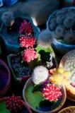 De kleurrijke installaties van de cactussencactus Stock Afbeelding