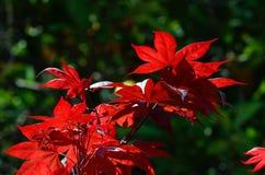 De kleurrijke Japanse Bladeren van de Esdoornboom Royalty-vrije Stock Afbeeldingen