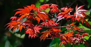 De kleurrijke Japanse Bladeren van de Esdoornboom Stock Afbeelding