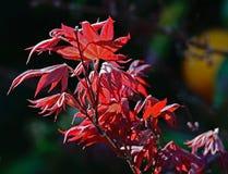 De kleurrijke Japanse Bladeren van de Esdoornboom Stock Foto
