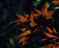 De kleurrijke Japanse Bladeren van de Esdoornboom Stock Foto's