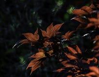 De kleurrijke Japanse Bladeren van de Esdoornboom Royalty-vrije Stock Afbeelding