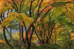 De kleurrijke Japanse Luifel van de Esdoornboom in Dalingsseizoen Royalty-vrije Stock Afbeeldingen
